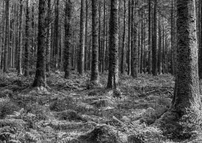 Forest Carpet B&W (Bellever Wood, Dartmoor)